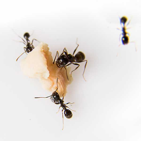 Professional Ant Removal In Baltimore Md